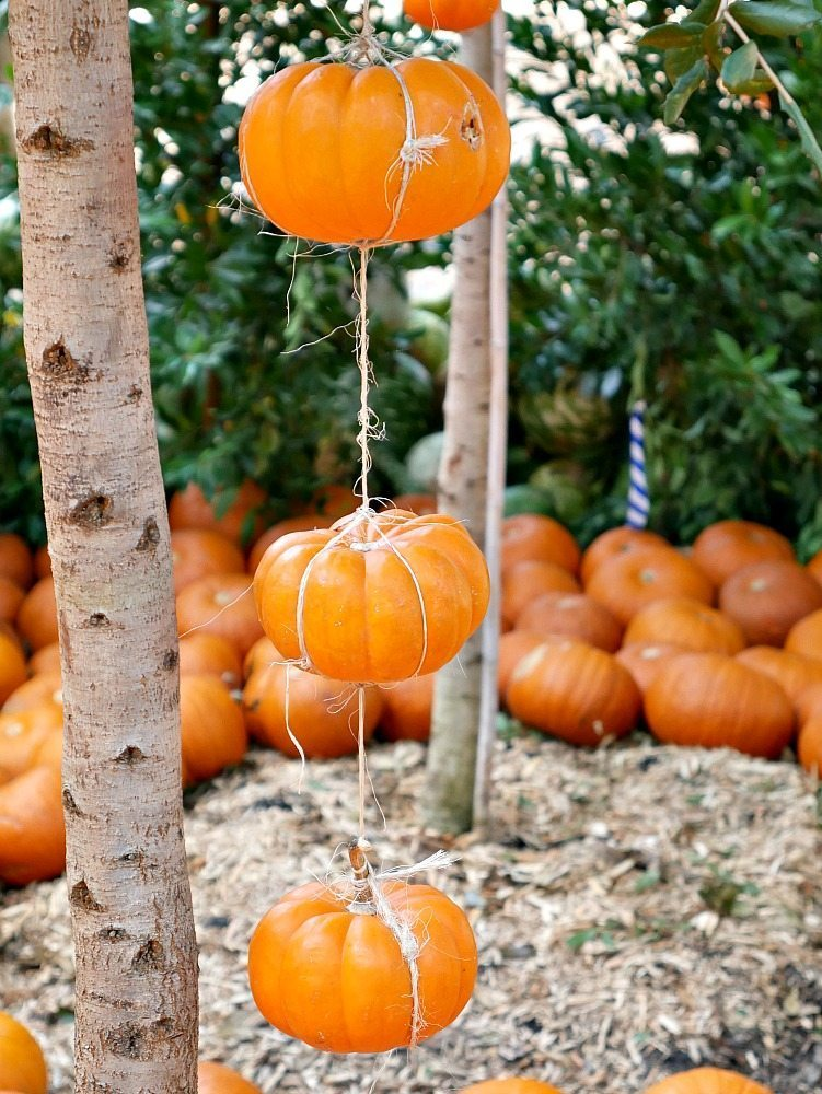 Come see what 90,000 pumpkins looks like! Fall at the Dallas Arboretum is a magical sight and full of amazing pumpkin displays!