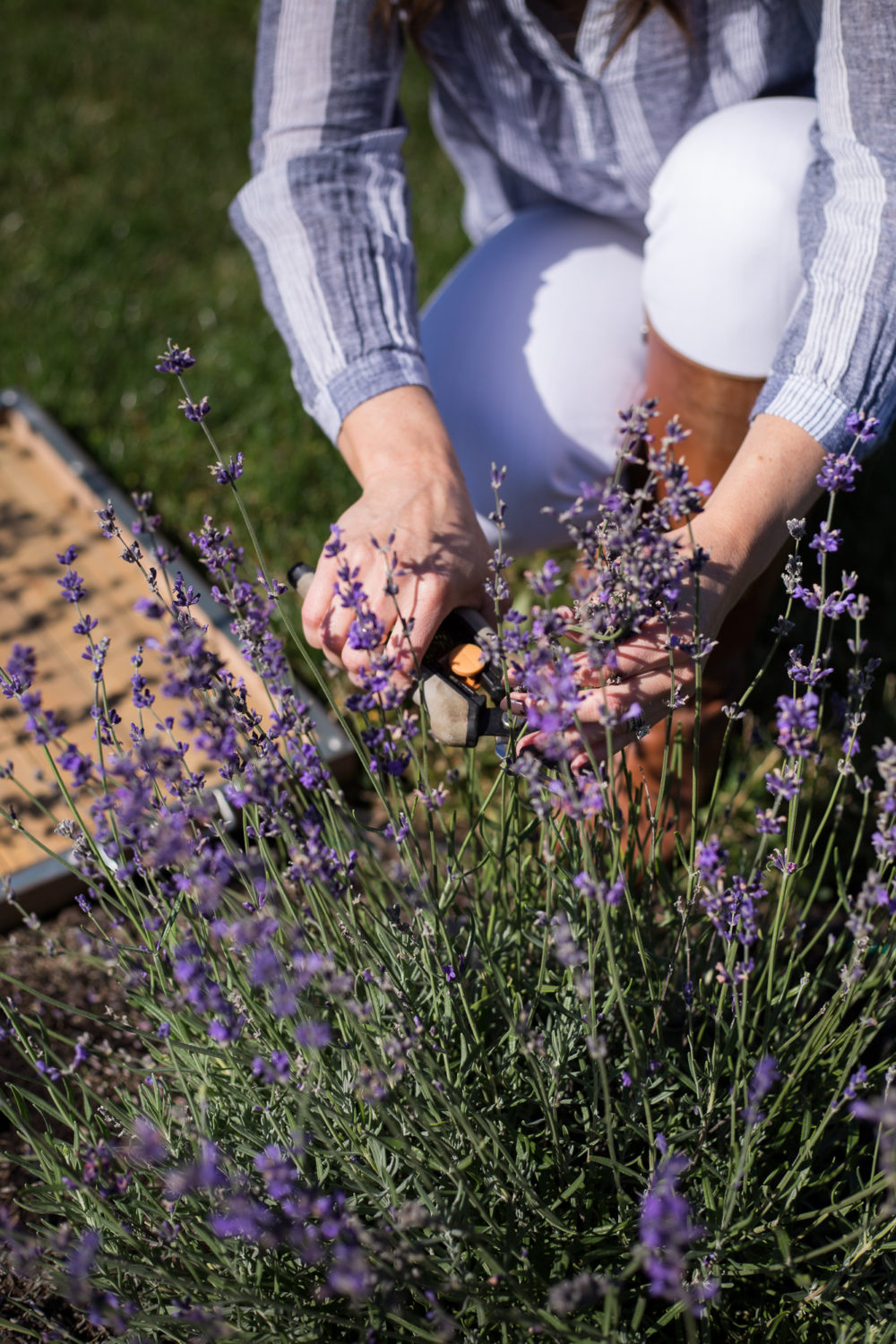 Pruning back fresh lavender for fall.